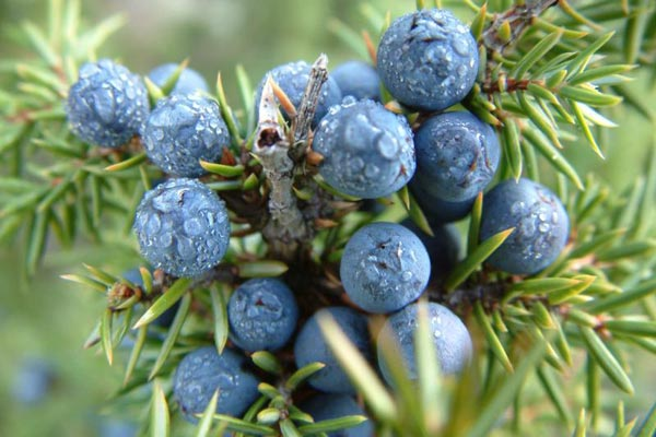 Fresh Juniper berries